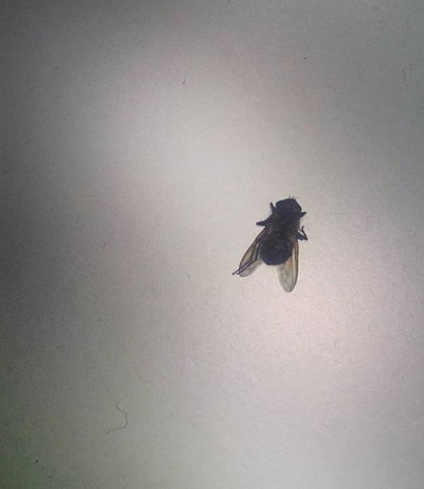 pułapki na insekty - mucha