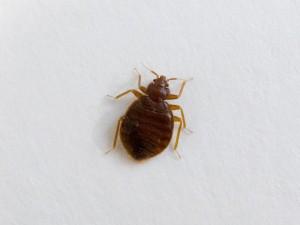 pułapki na insekty - pluskwy