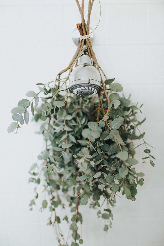 eukaliptus pod prysznicem 2
