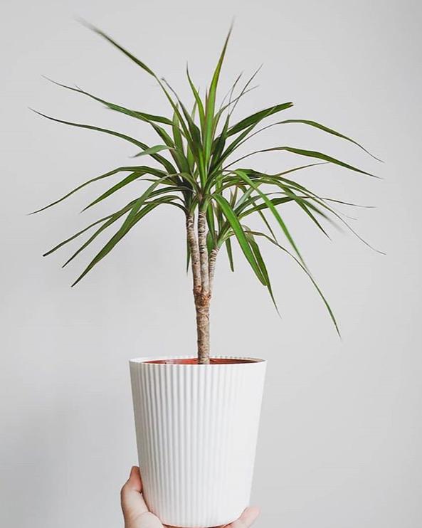 rośliny oczyszczające powietrze - dracena