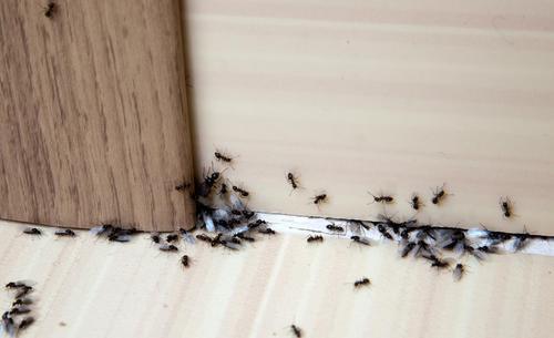 jak pozbyć się mrówek z domu - mrówki w domu