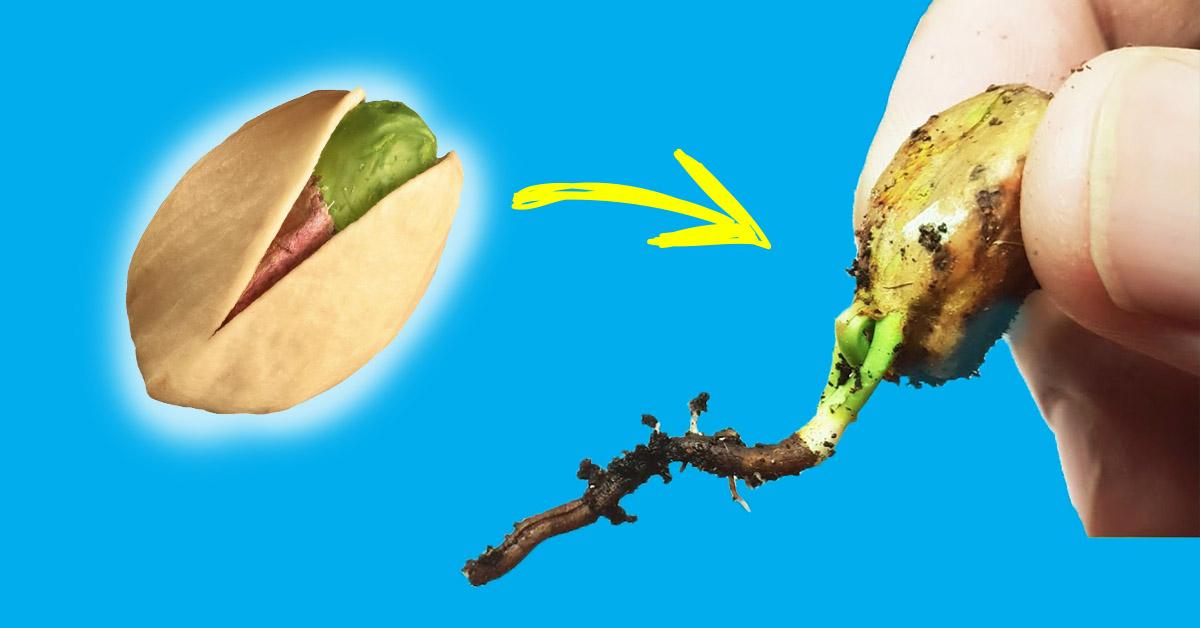 jak wyhodować pistacje