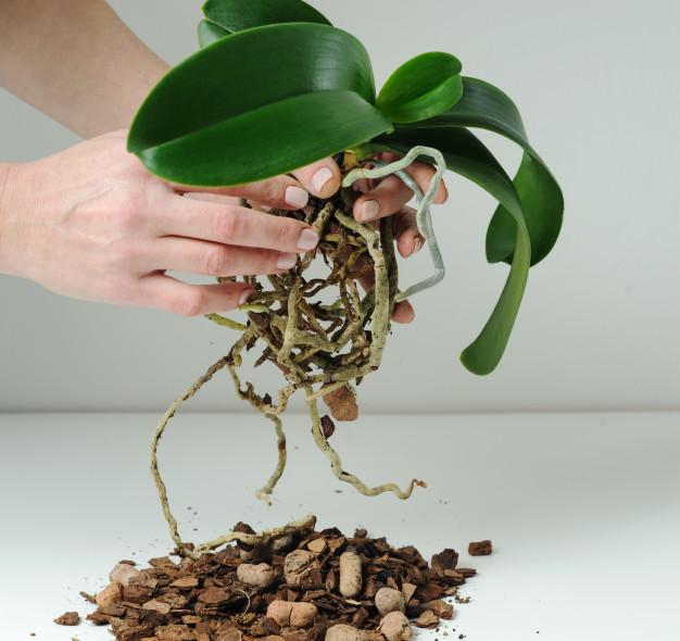 storczyk korzenie