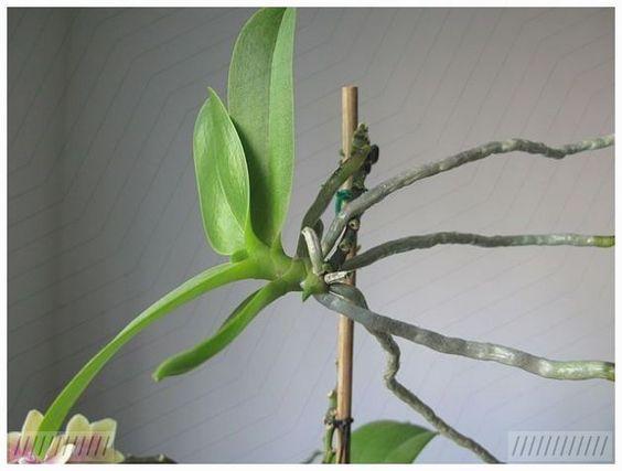 sadzonka orchidei