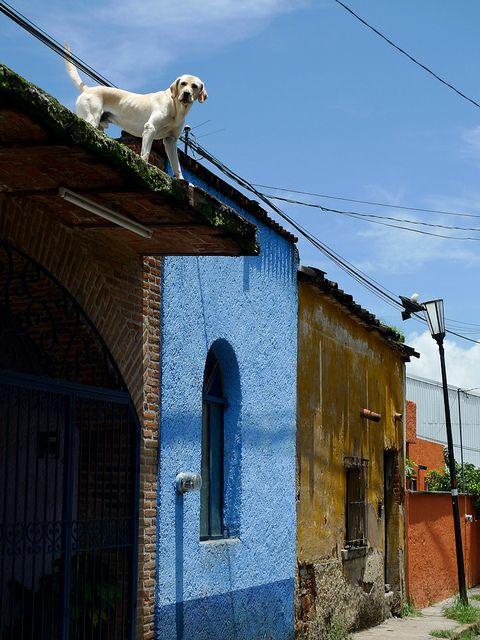 pies na dachu meksyk