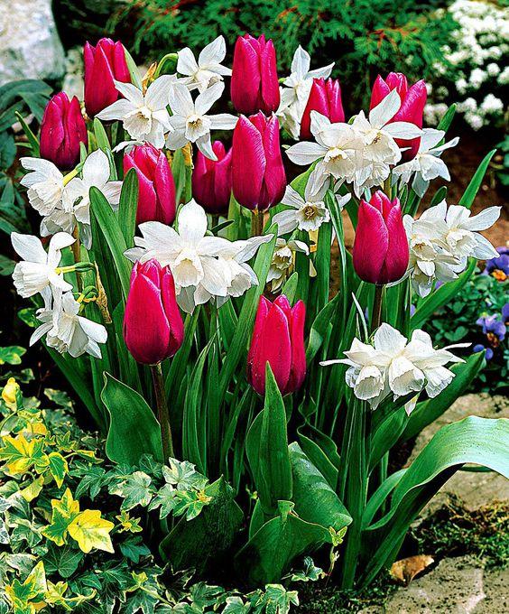tulipan i narcyz