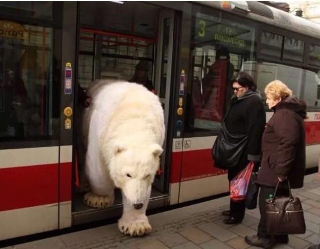 biały niedźwiedź wysiada z autobusu