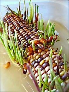 kukurydza kielkująca