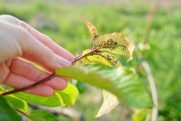 mszyce na liściach