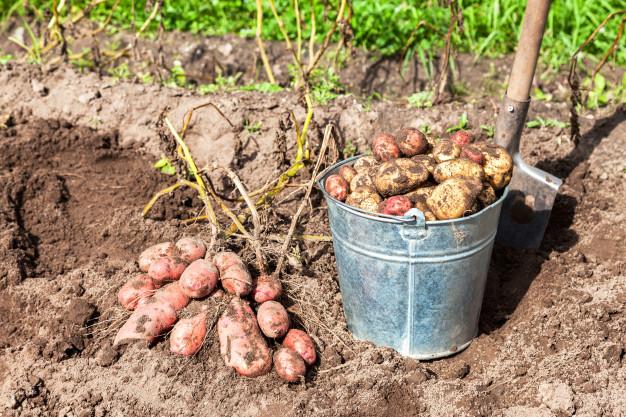 ziemniaki w wiadrze