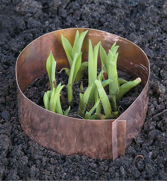 roślina otoczona miedzianym pierścieniem