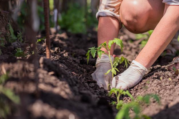 kobieta sadzi pomidory