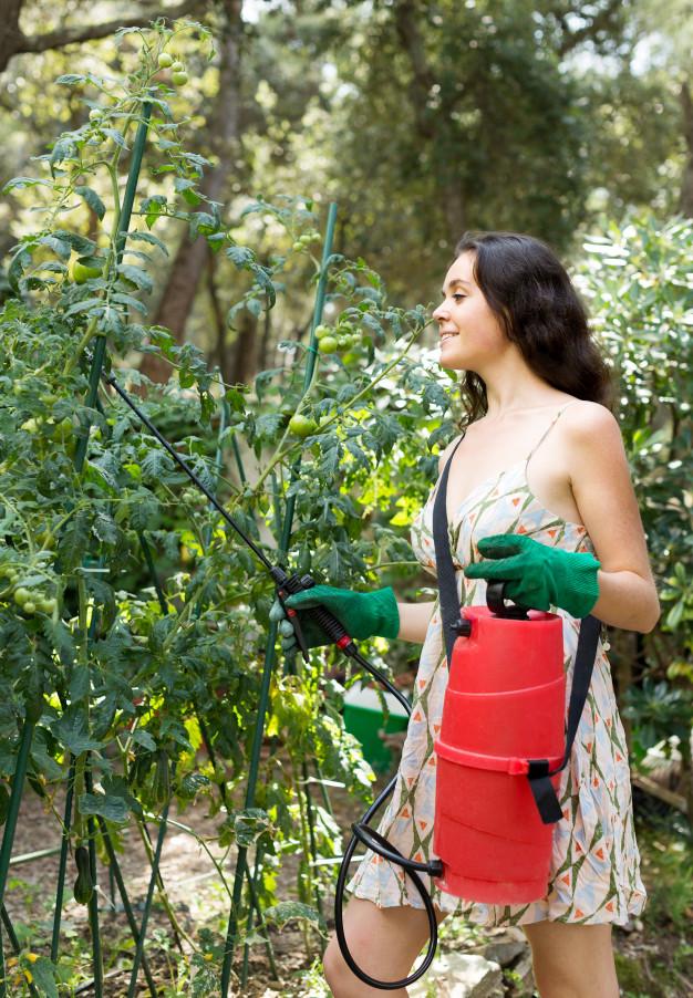 kobieta oprykuje pomidory