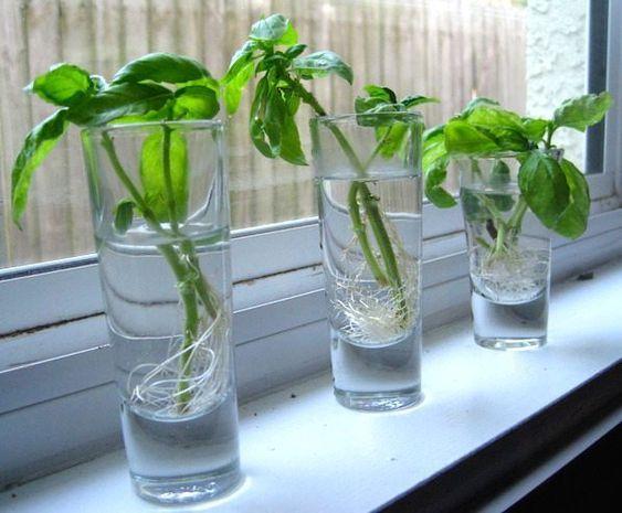 Wodne ogrody ziołowe. 7 popularnych ziół, które można uprawiać bez gleby