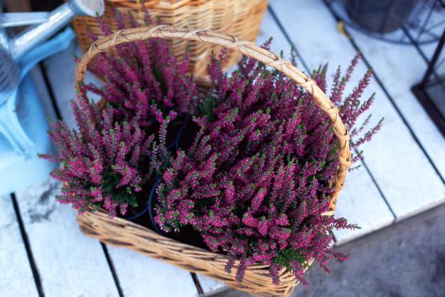 jesienne kwiaty - wrzosy