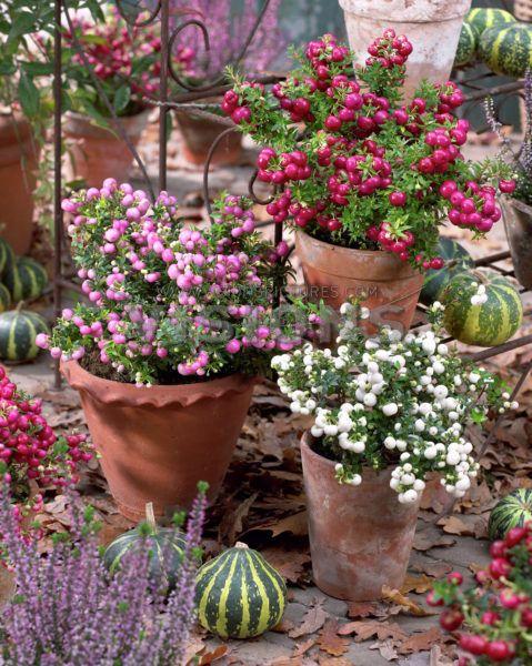 jesienne rośliny - pernetia