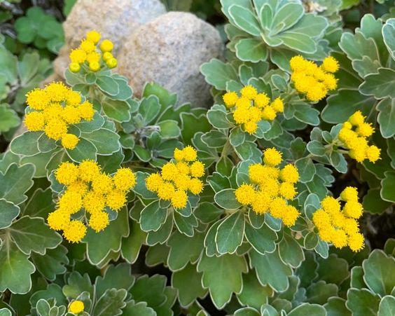 jesienne kwiaty - ajania
