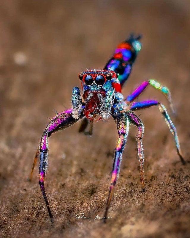 pająkt