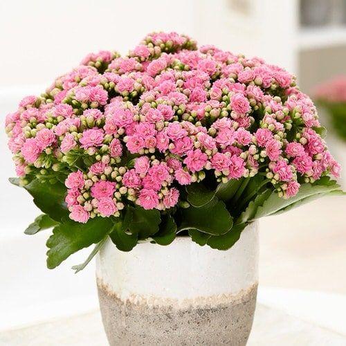 rośliny doniczkowe kwitnące zimą